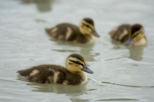Ducklings by rnx
