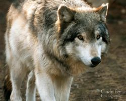 Grey Wolf by lost-nomad07