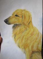 Golden Retriever by iimoa