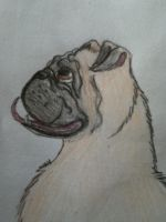 70 Animals Challenge - Pug by Carlye