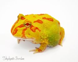 Citrus Albino Pacman Frog. by Toxic-Muffins-Studio
