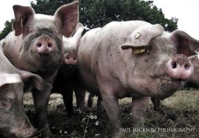 Reservoir Pigs by Hixybabes