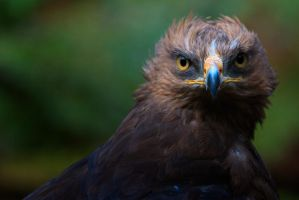 lesser spotted eagle by Ulliart