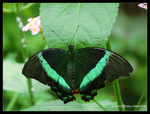 Emerald Swallowtail Butterfly by Mogrianne