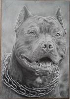Drawing of a Pitbull by Valyanna8361