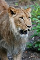 Adolescent Lion 0266 by robbobert