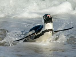 African penguin by Jamie-MacArthur