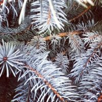 Blue Pine Needles by Patchheart