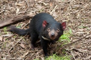 Tasmania Devil 03 by DanielleMiner