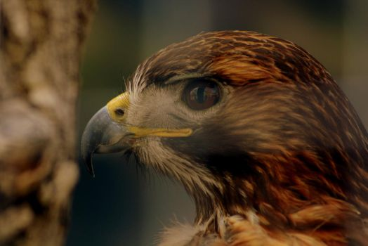 Red-tailed Hawk by xsiorcanna