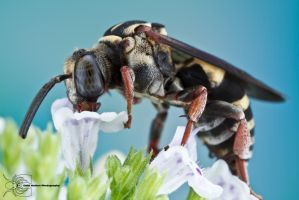 Cuckoo Bee - Triepeolus sp. by ColinHuttonPhoto