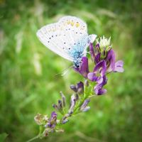 common blue IV by Croiea