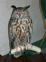 Eurasian Eagle Owl by mmad-sscientist