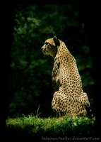 Dramatic Cheetah by hoboinaschoolbus