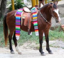 Mexican Horse Stock by firenze-design
