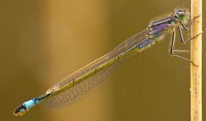 dragonfly. by GerbenT
