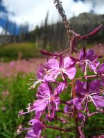 Fireweed by Cao