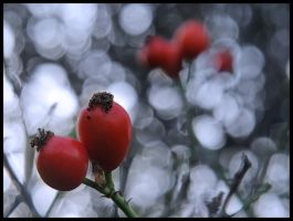 Rose hips by Pildik