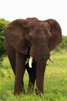 Elephant standing by MarianGutu