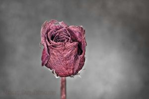 Dried rose by MidnightDaisyStudio