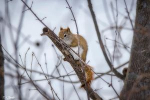 Red Squirrel 1 by Nini1965