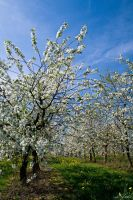 More Apple Trees by Luxxs