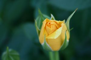 Yellow Rose by lexxi