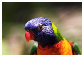 Swainsons Lorikeet by ewm