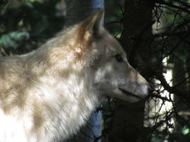Wolf in Profile by SubRosa-undertherose