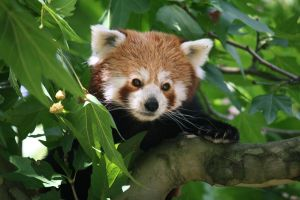 Red panda 5 by Sabbie89