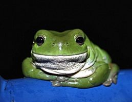 Tree Frog by carrionbludd