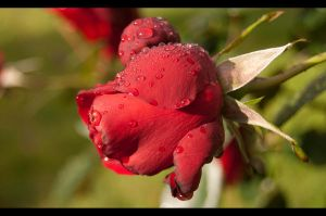 Red rose after the rain by Cathorse