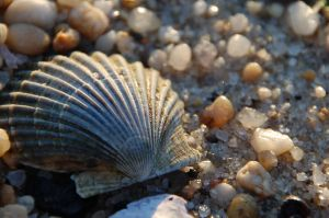 Scallop Shell by dancingkat33