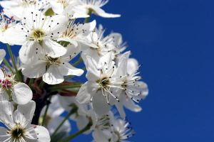 White Blooms by ppdigital