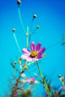 the coreopsis] by dyefish