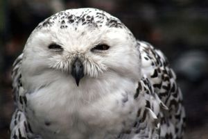 Animal Photography - Snowy Owl by Applinna