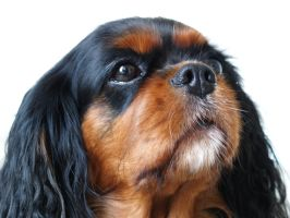 Cavalier profile by suphoto