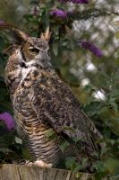 Great Horned Owl.. by quaddie