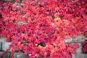 Red Leaves on Rock Wall by ricmerry