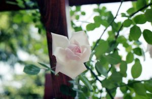 rose by remousse