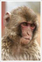 Macaque Portraits - III by eight-eight