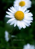 Love of daisy by LaLillaa