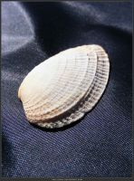Unrestricted Object Stock - Sea Shell 08 by shelldevil