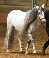 STOCK - 2014 Andalusian Nationals-165 by fillyrox