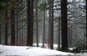 Winter Forest Stock 2428 by Phenix59
