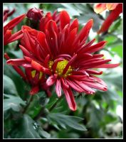 Chrysanthemum in red by grandma-S