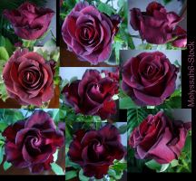 Rose Stock 3 by Melyssah6-Stock
