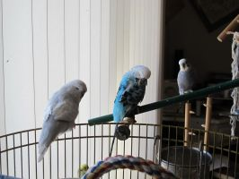 Three Shades of Budgie 1 by Windthin