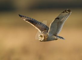 Still hunting - Short-eared Owl by Jamie-MacArthur