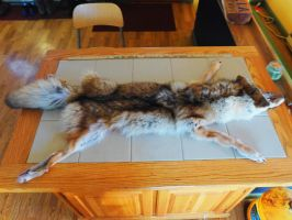 Mountable Coyote Pelt (SOLD) by Saceronsage